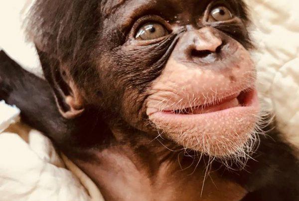 Liberia Chimpanzee Rescue & Protection